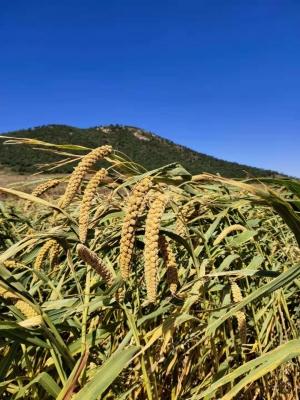 传统红谷小米,桑园楼西村红谷小米,老品种小米